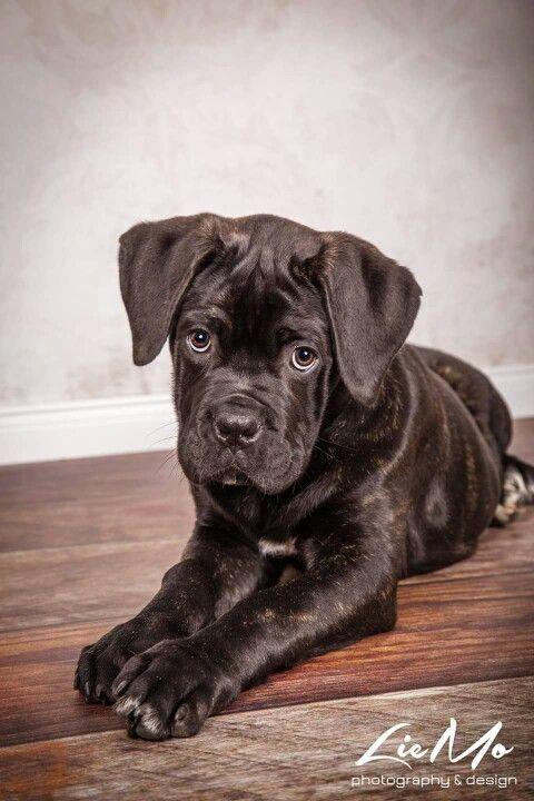 Our Cane Corso Puppy Named Oskar 14 Weeks Old Cane Corso