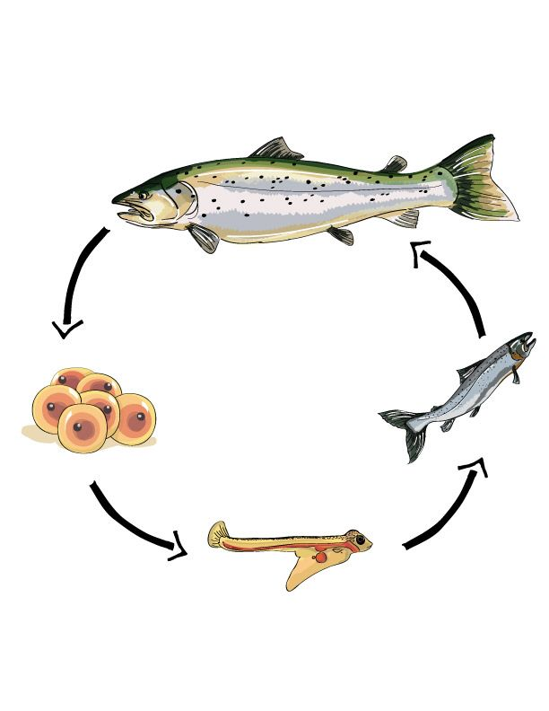 pix for fish life cycle education science pinterest