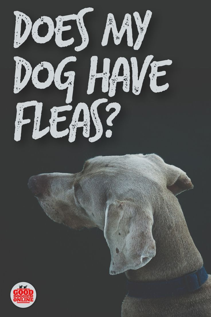 Does my dog have fleas 5 signs to know it dog insurance