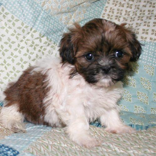 Pomeranian Poodle Toy Mix Puppy For Sale In Cedar Park Tx Adn