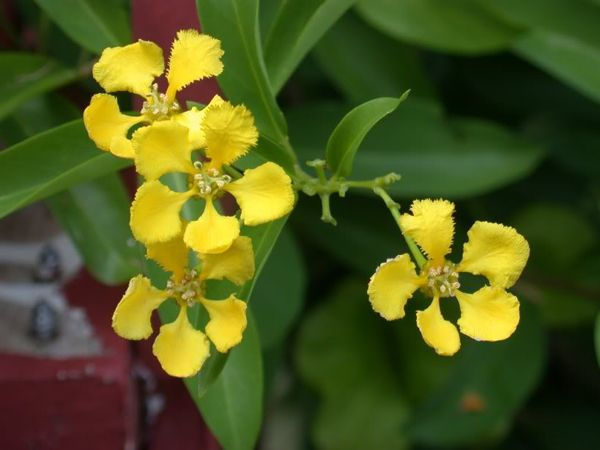 yellow orchid vine  pool