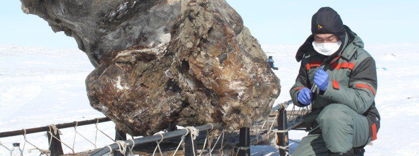 Sehr gut erhaltener Mammutkadaver in auftauendem Permafrost-Boden gefunden.