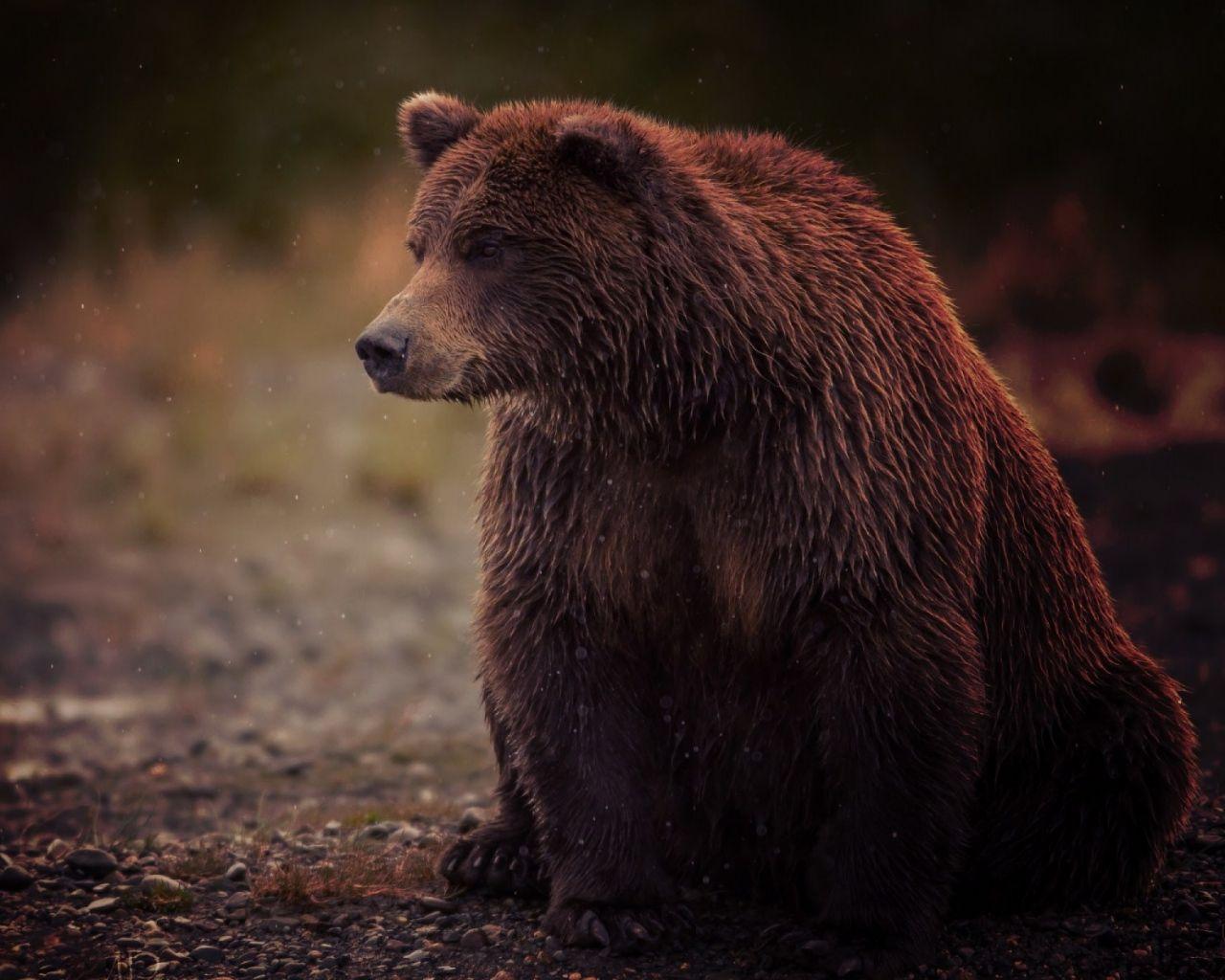 Милый символ России - медведь, бурый, мокрый, сидит, косолапый