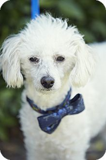 Santa Monica Ca Miniature Poodle Maltese Mix Meet Jacques A