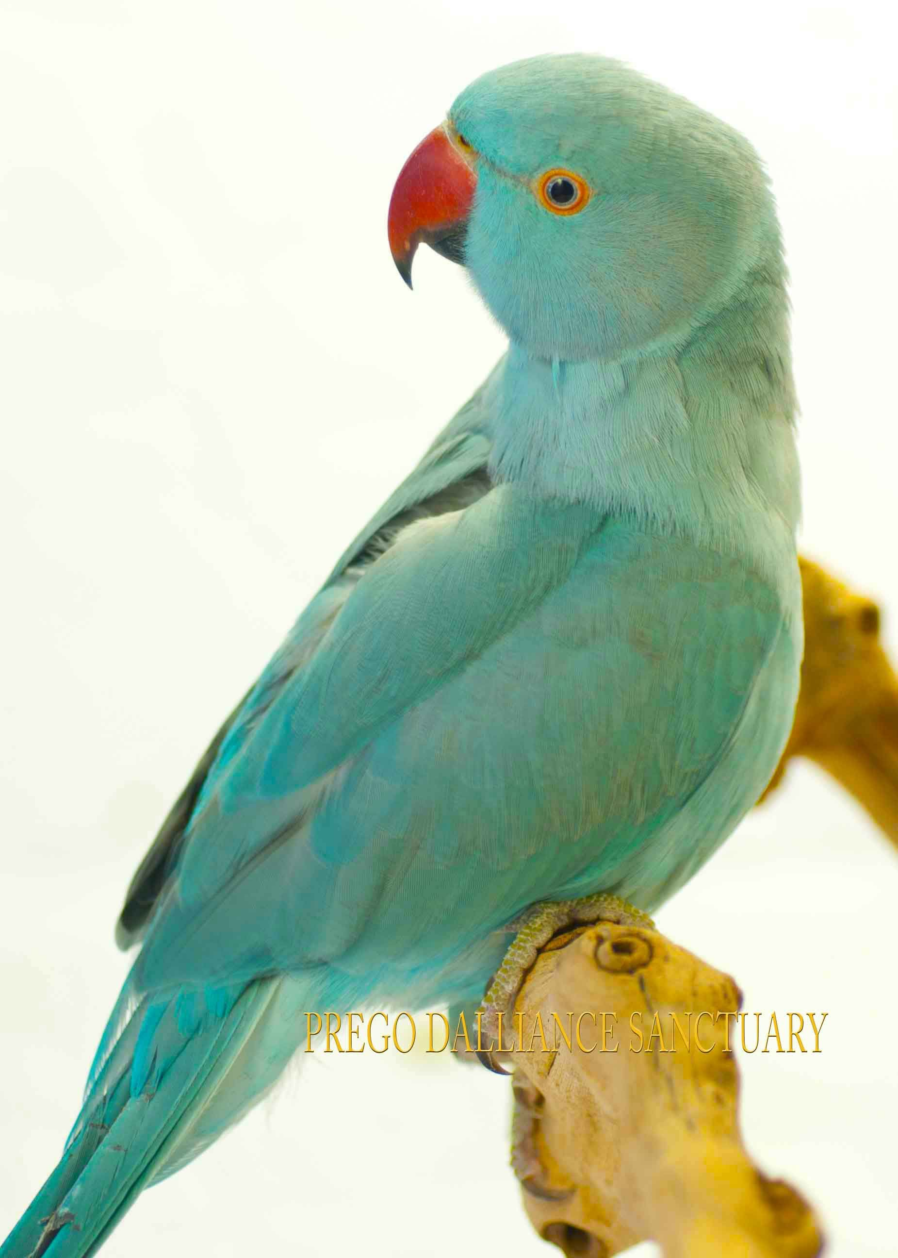 buddha a blue indian ringneck | ringnecks | pinterest | buddha