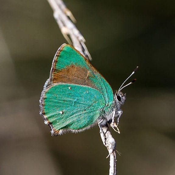 butterflies bramble hairstreak photographed by Ken Wilson