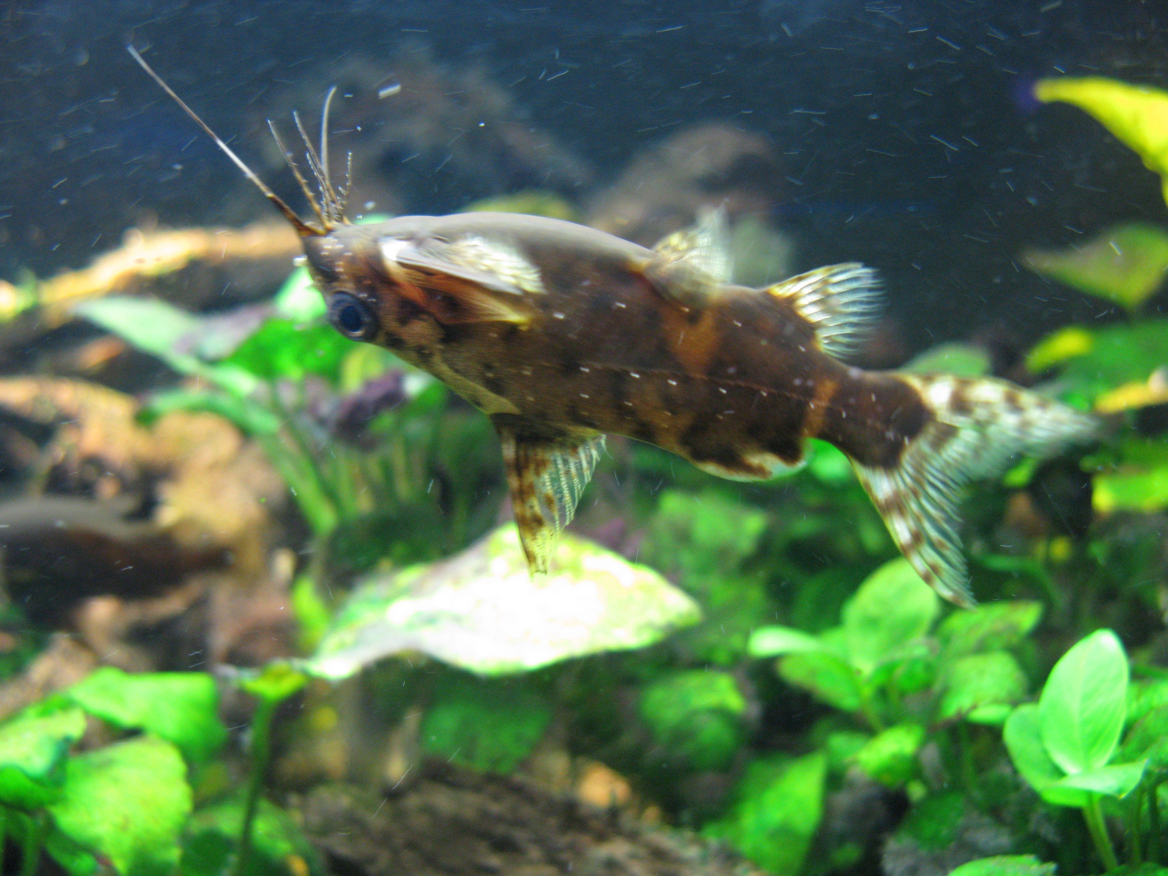 Pin By Sarah Hammell On Fish I Want Upside Down Catfish Catfish Fish Pet