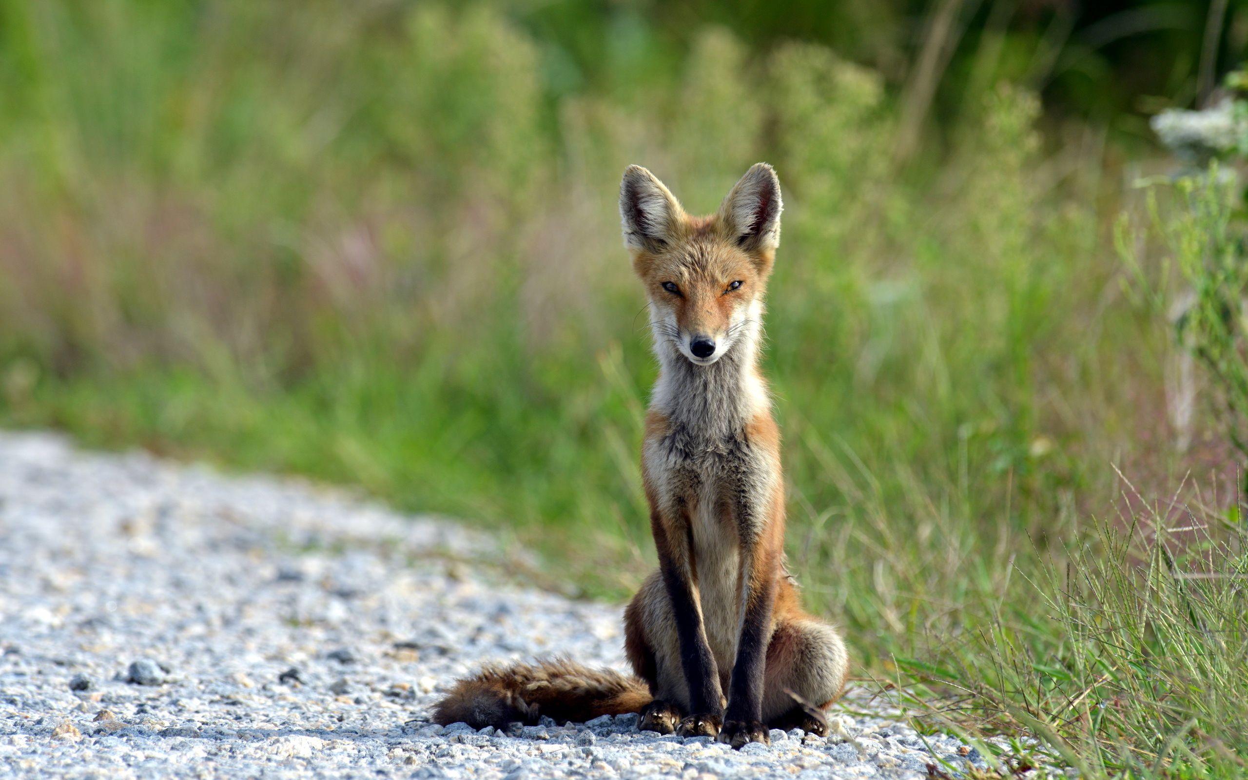 'Thin Fox' from 21/10/15 Animal