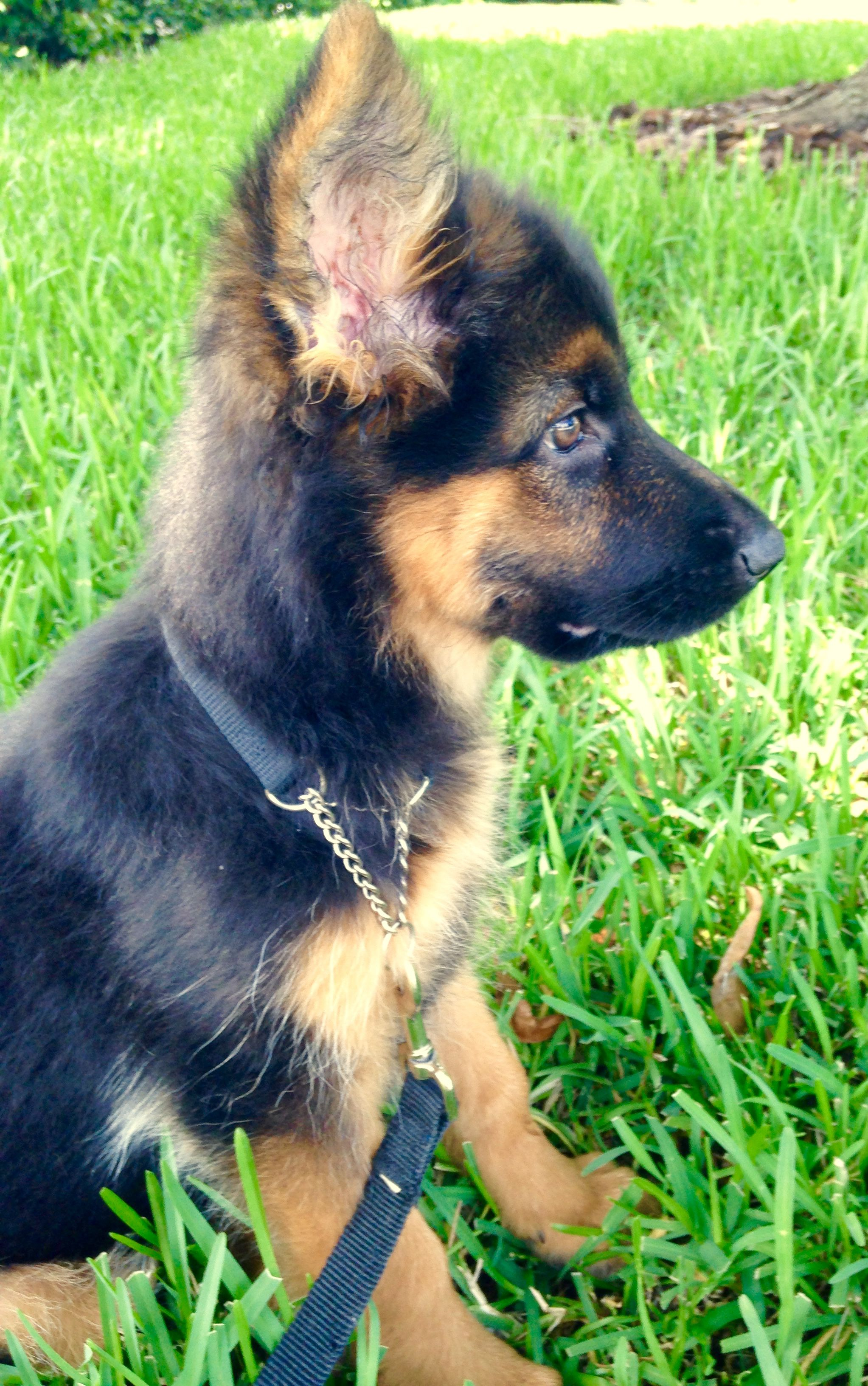 Fluffy German Shepherd Puppy Mix Ideas