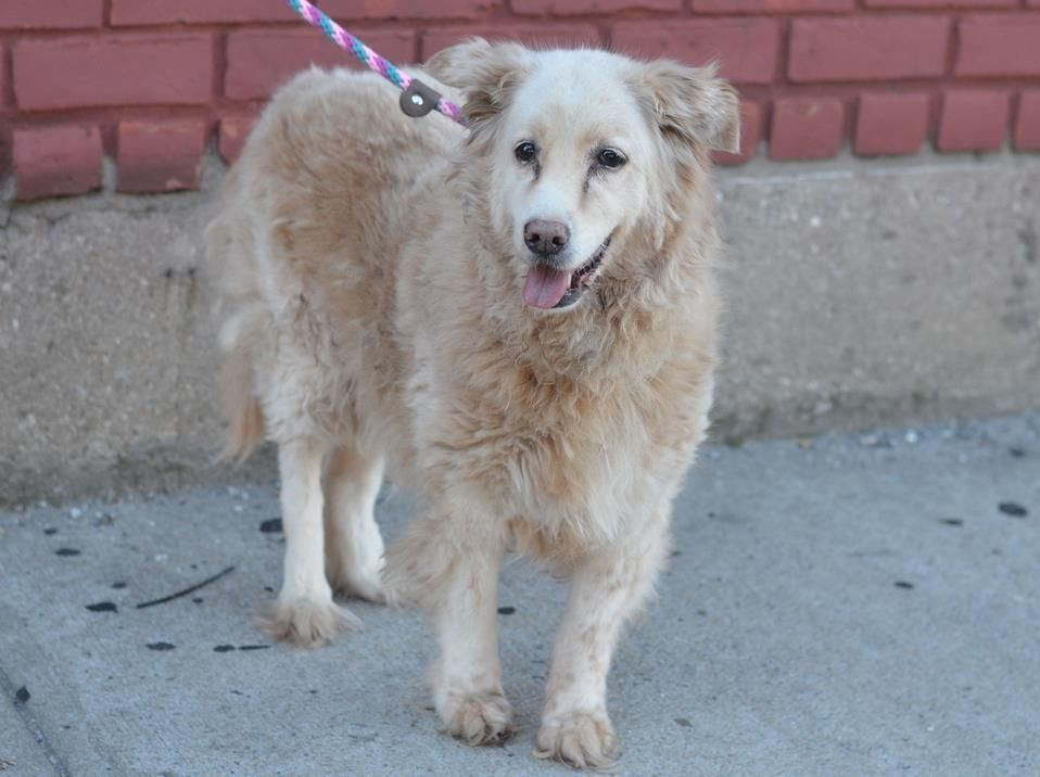 SAFE --- SUPER URGENT 10/10/14 Brooklyn Center   LULU - A0831244  ***RETURNED 10/10/14***  SPAYED FEMALE, TAN, FIELD SPANIEL / LABRADOR RETR, 17 yrs OWNER SUR - EVALUATE, HOLD RELEASED Reason MOVE2PRIVA  Intake condition EXAM REQ Intake Date 10/10/2014, From NY 11233, DueOut Date 10/10/2014,   https://www.facebook.com/Urgentdeathrowdogs/photos/pb.152876678058553.-2207520000.1413018288./884802718199275/?type=3&theater +++++++++17 YEARS!!!!+++++++++++
