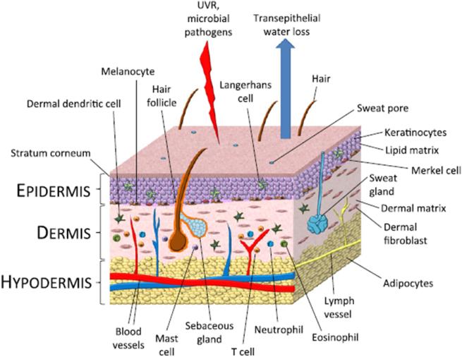 Dermis Structure
