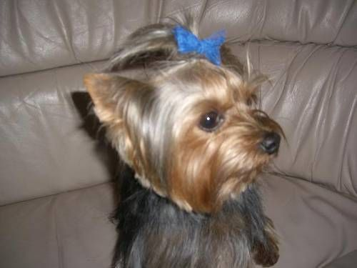Yorkie Haircut Yorkies Pinterest Yorkie Yorkie Haircuts And
