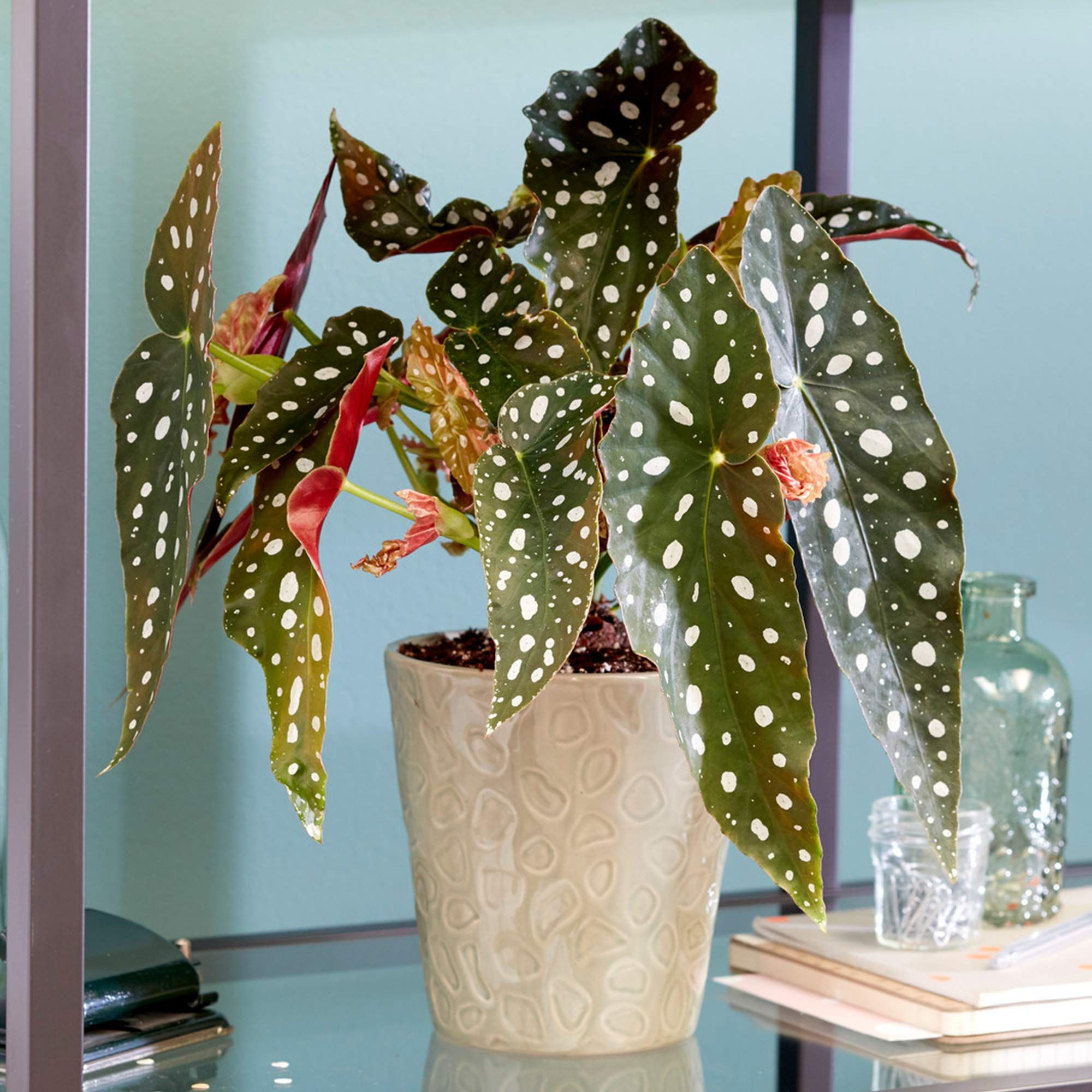 Spotted Begonia Maculata Popular Indoor Houseplant 20 30cm With Pot Amazon Co Uk Garden Outdoors In 2020 Begonia Maculata House Plants Begonia