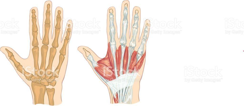 Image result for back of hand anatomy | Art: Hands | Pinterest ...