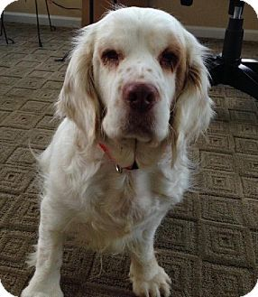 11 2 14 Crystal Lake Il Clumber Spaniel Meet Chloe A Dog For