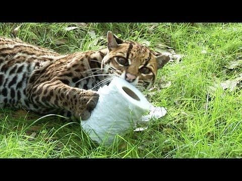 Big Cats Love To Play With Toilet Paper - #funny #cats