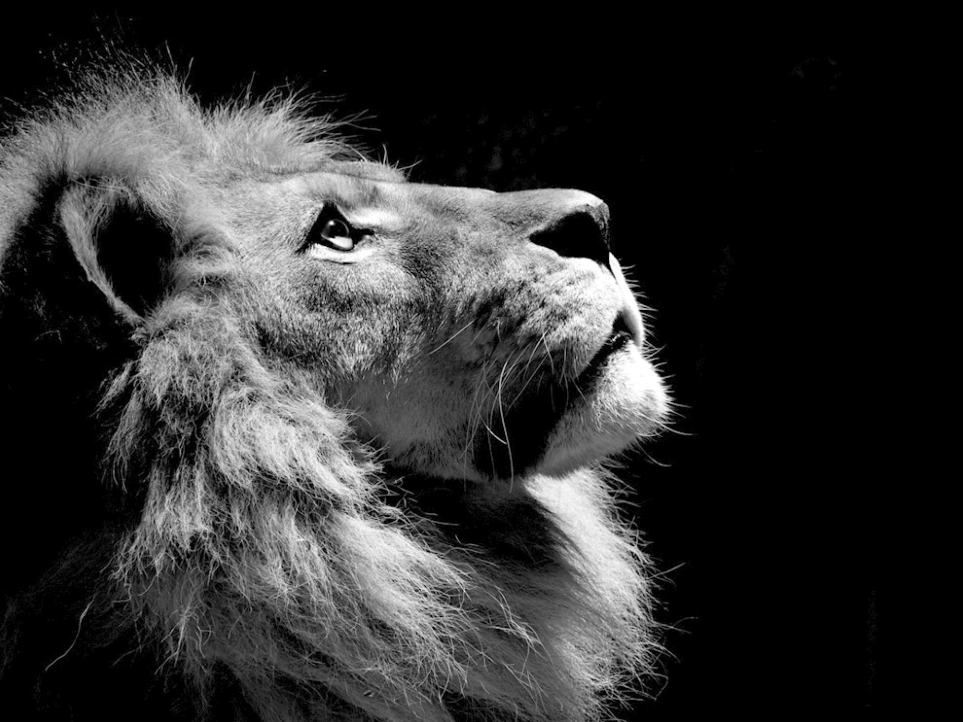 Lion Profile Photo Animal Wallpaper National Geographic Photo Of The Day Black And White Lion Lion Pictures Lion Photography