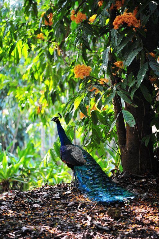 peacock   bird photography #peafowl