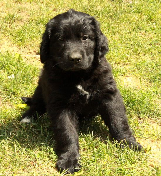 newfoundland retriever mix
