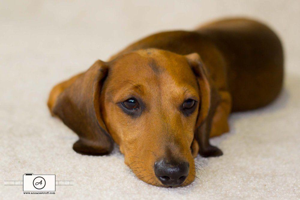 Pet Photographer Brisbane Dachshund Dashound Sausage Dog