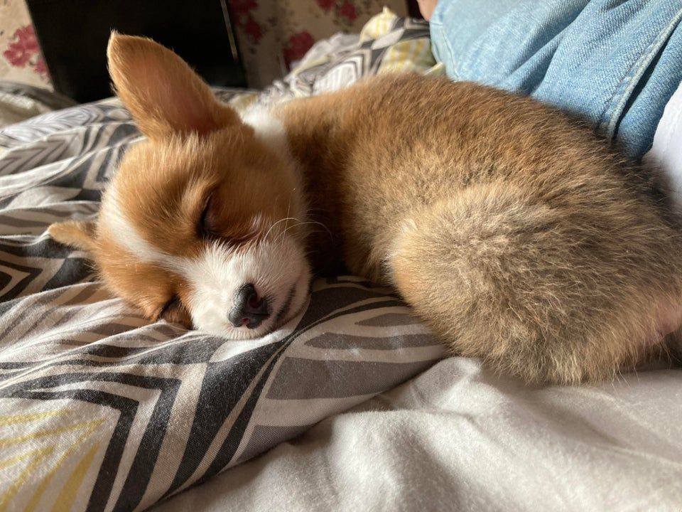 Cooper, the corgi of questionable age and origins