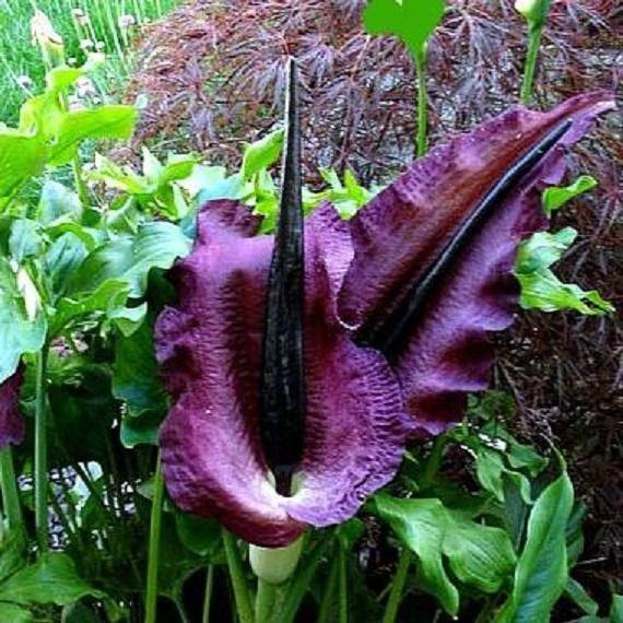 10pcs super rare dracunculus vulgaris dragon arum black snake lily