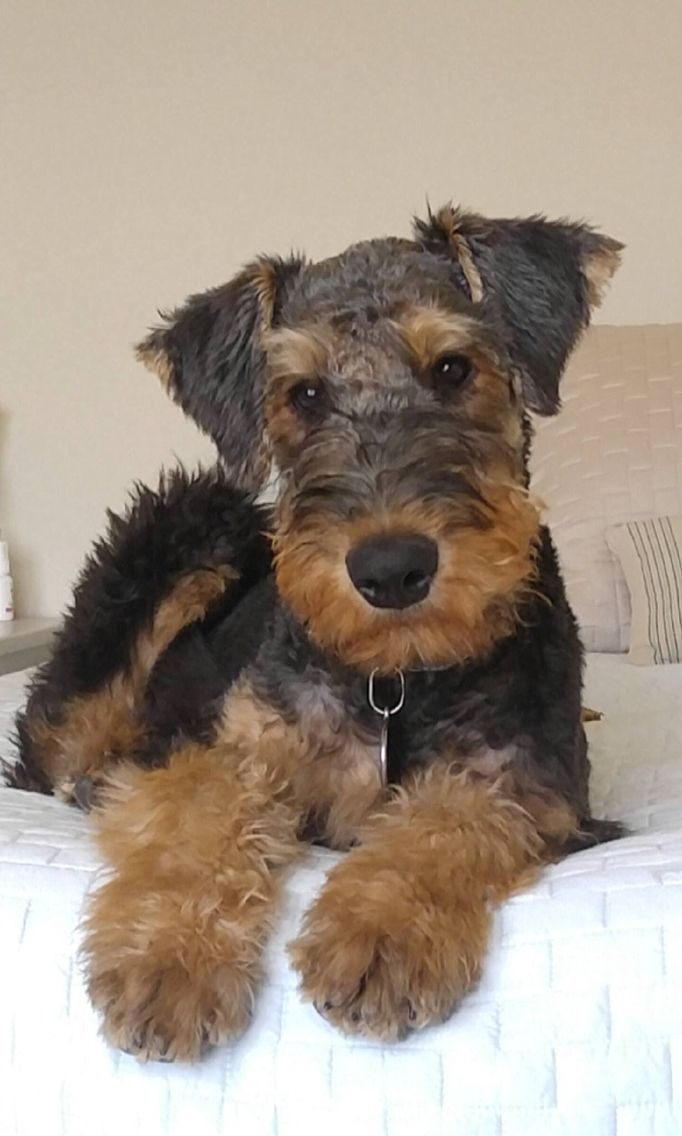 Pin By Double T On Airedale Terriers Airedale Terrier Puppies