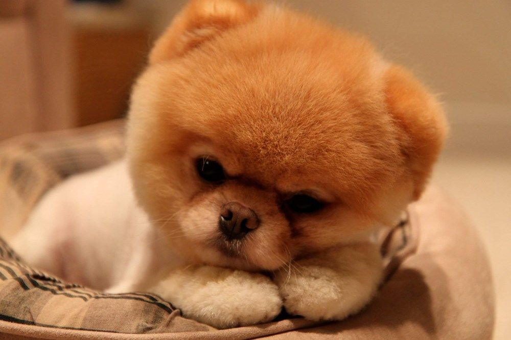 Meet The World S Smallest Animals Boo The Dog Cute Baby Dogs Cute Dogs
