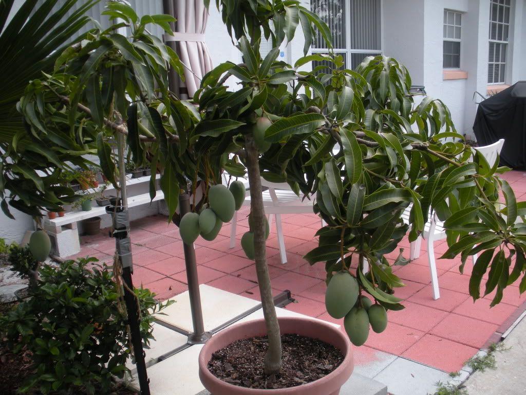 Just Some Pics Citrus Forum Gardenweb Potted Trees Indoor Avocado Tree Mango Tree