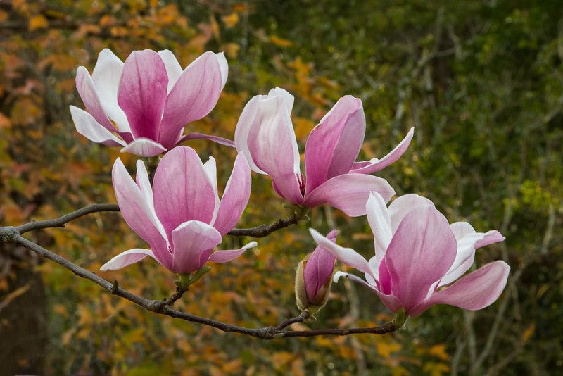 While magnolia soulangeana is the botanical name for these trees while magnolia soulangeana is the botanical name for these trees that bloom in early spring sporting beautiful large pink purple or white flowers mightylinksfo