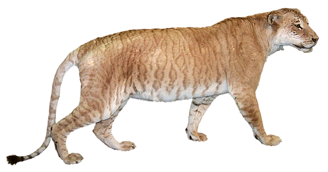 ligers a myth that once was The liger is a hybrid offspring of a male  on average than the liger it is wrongly believed that ligers continue to grow throughout their lives due to hormonal .