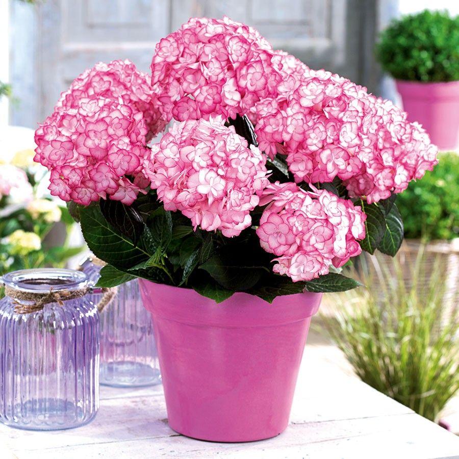 New Hortensie Miss Saori Gartenpflanzen TOM GARTEN Saatgut Blumen Blumenzwiebeln und