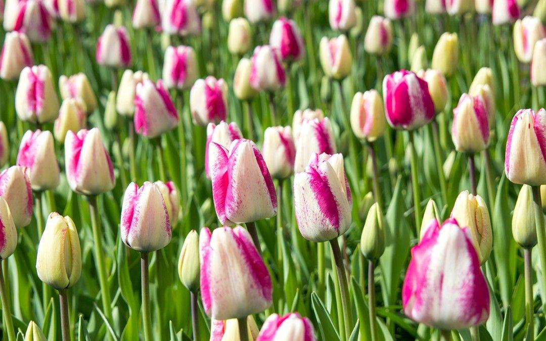 Blumenzwiebeln düngen