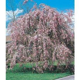 1 Count Pink Weeping Cherry Feature Tree In Bare Root With Soil