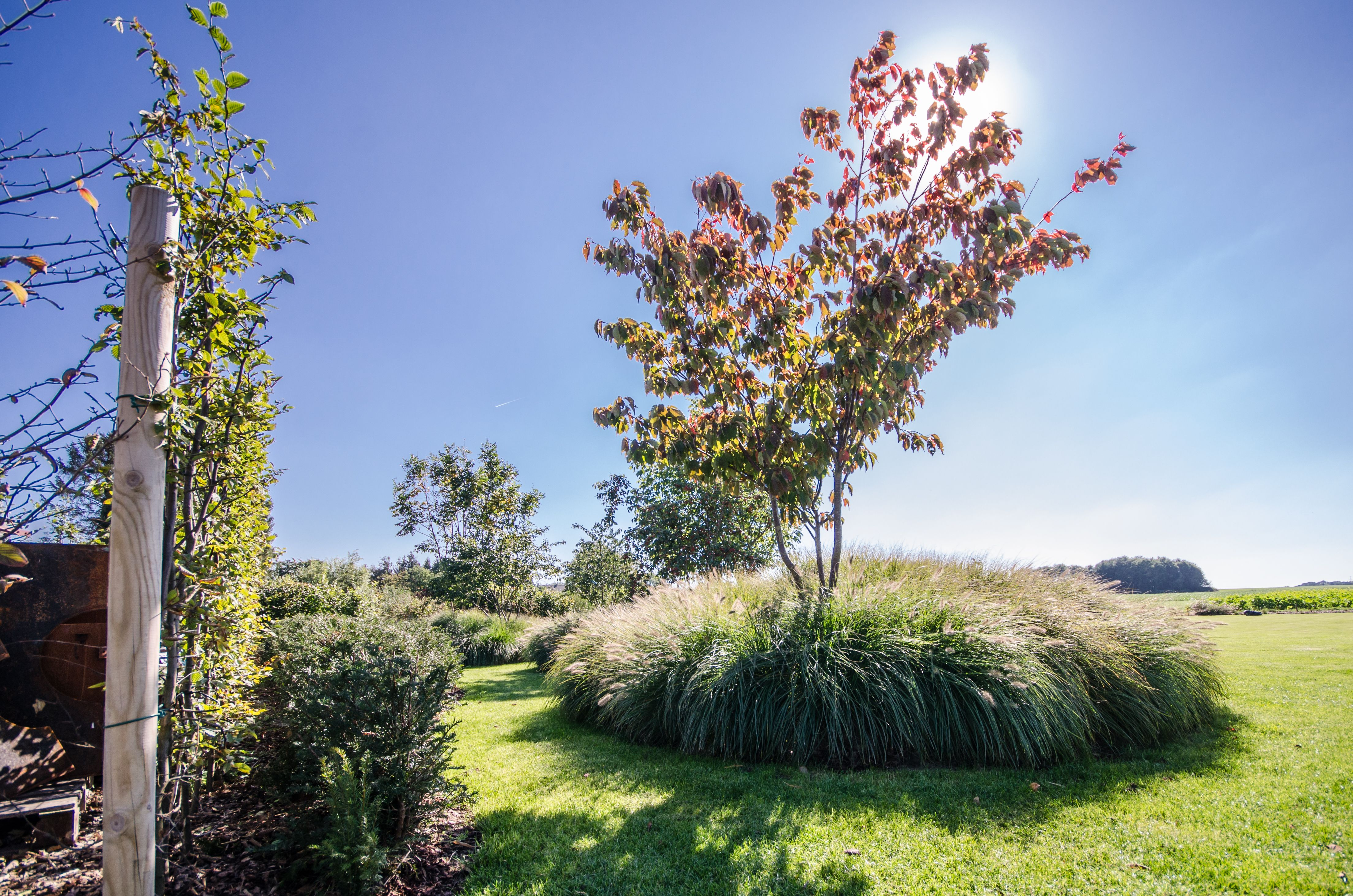 Jardin Prive Graminees Pennisetum Arbre Multi Tronc Prunus