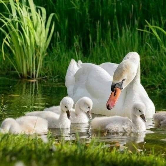 Cygnets | Black swan, Baby swan, Animals