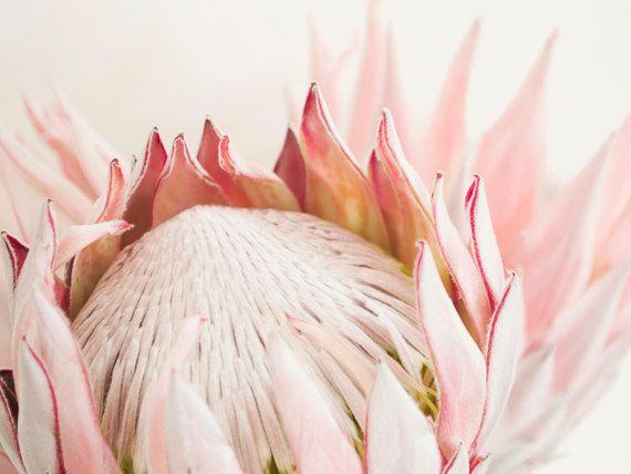 Protea Bloom Blush Print King Protea Botanical Print Etsy Protea Flower Protea Art Flowers Photography