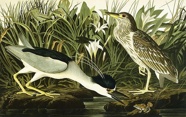 Tajasú guyrá (Nycticorax nycticorax) Night Heron or Lua Bird, 1835 (hand-coloured etching with aquatint engraving), Audubon, John James (1785-1851)