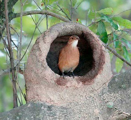 Horneros Aves Argentinas Aves Pajaros