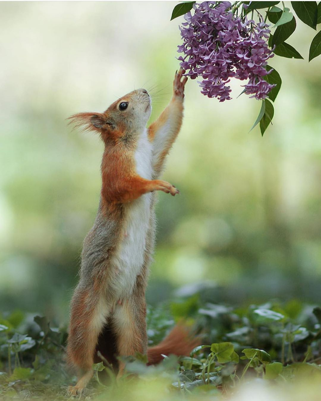 Image result for squirrel with lilacs