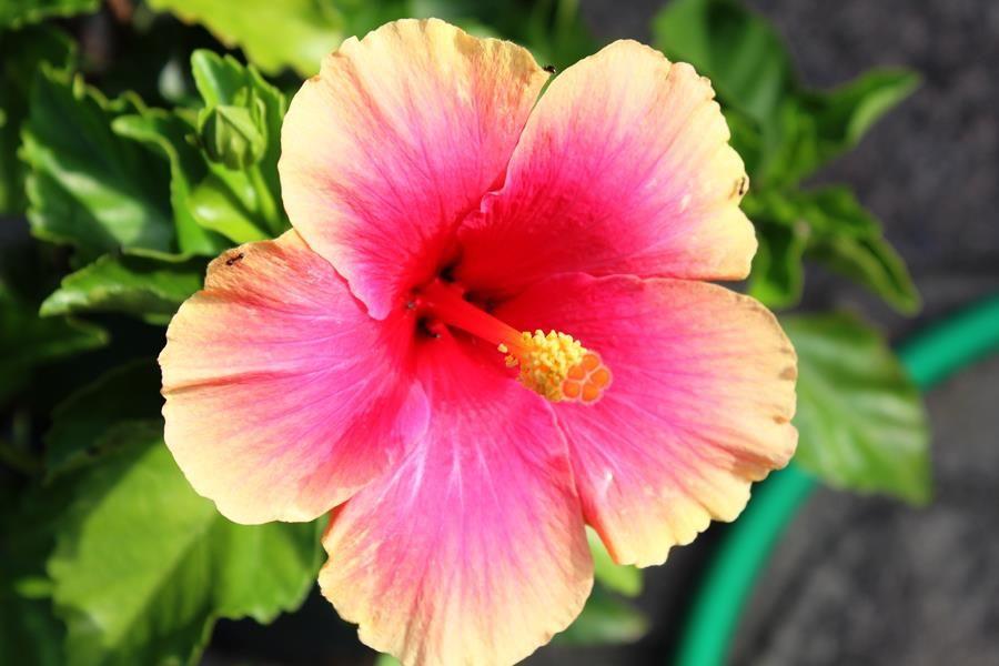 おはようございます。そうめんおじさんです。本日も一期一会でどうぞよろしくお願いします。    今朝、庭の鉢植えのハイビスカスが咲きました。他にもつぼみが膨らんできているので、9月も楽しませてくれそうです。