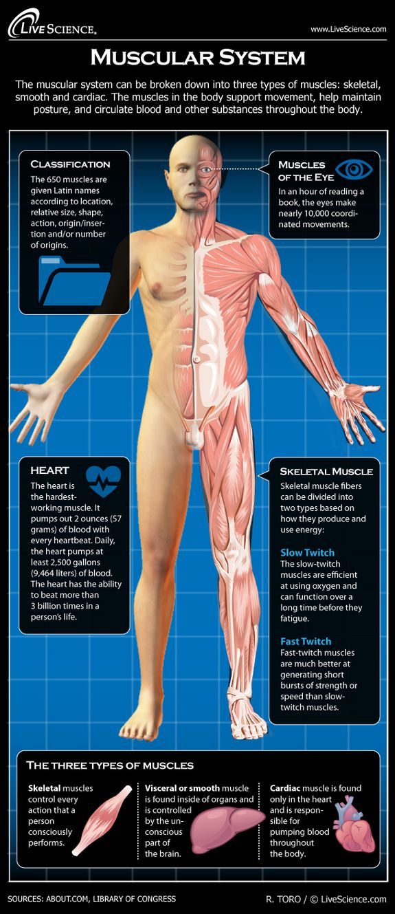 Diagram of the Human Muscular System (Infographic) | Pinterest ...