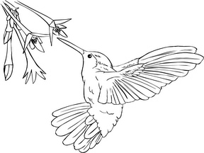 Hummingbird Pictures To Print For Free Hummingbird Coloring Pages