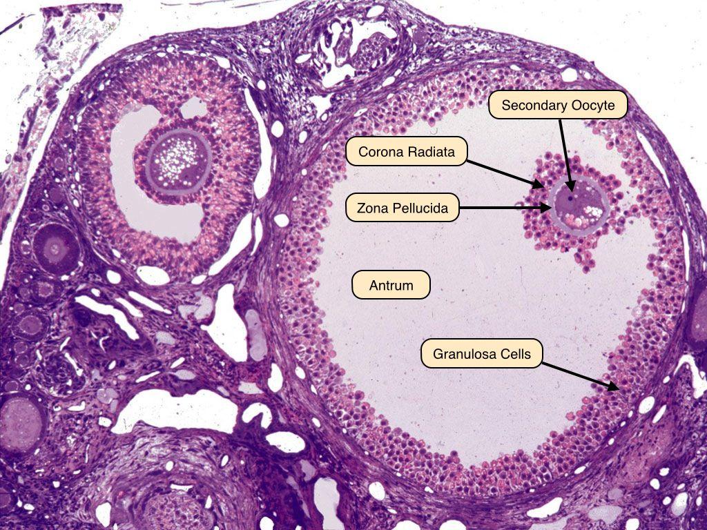 Graafian Follicle  Histology Slides, Reproductive System, Veterinary Studies-7188