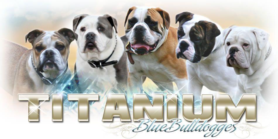 Blue Tri Old English Bulldog Breeder Bulldog Puppies For Sale