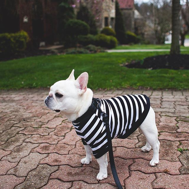 Theo Bonaparte The French Bulldog French Bulldog Cute Animals