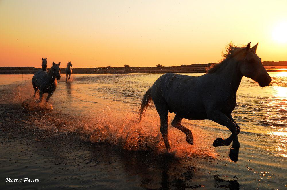 Camargue Wildhorses South Of France Camargue Chevaux Sauvages Chevaux De Camargue
