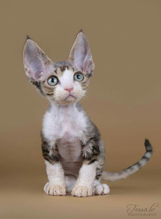There are smartest cat breed in the world that are