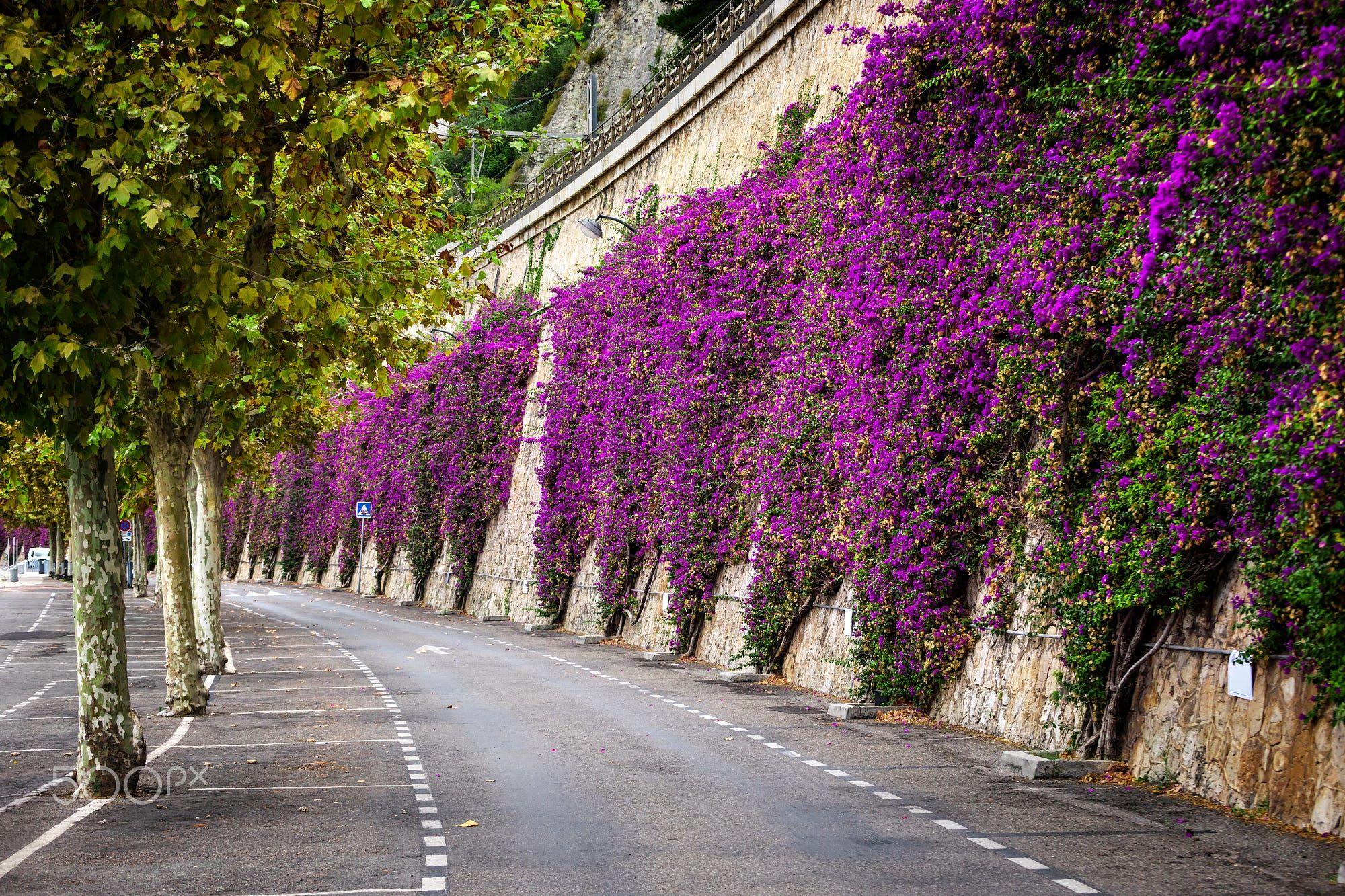 Mediterranean flowering shrub pink bougainvillea climbing stone wall mediterranean flowering shrub pink bougainvillea climbing stone wall at beach road in villefranche sur mightylinksfo