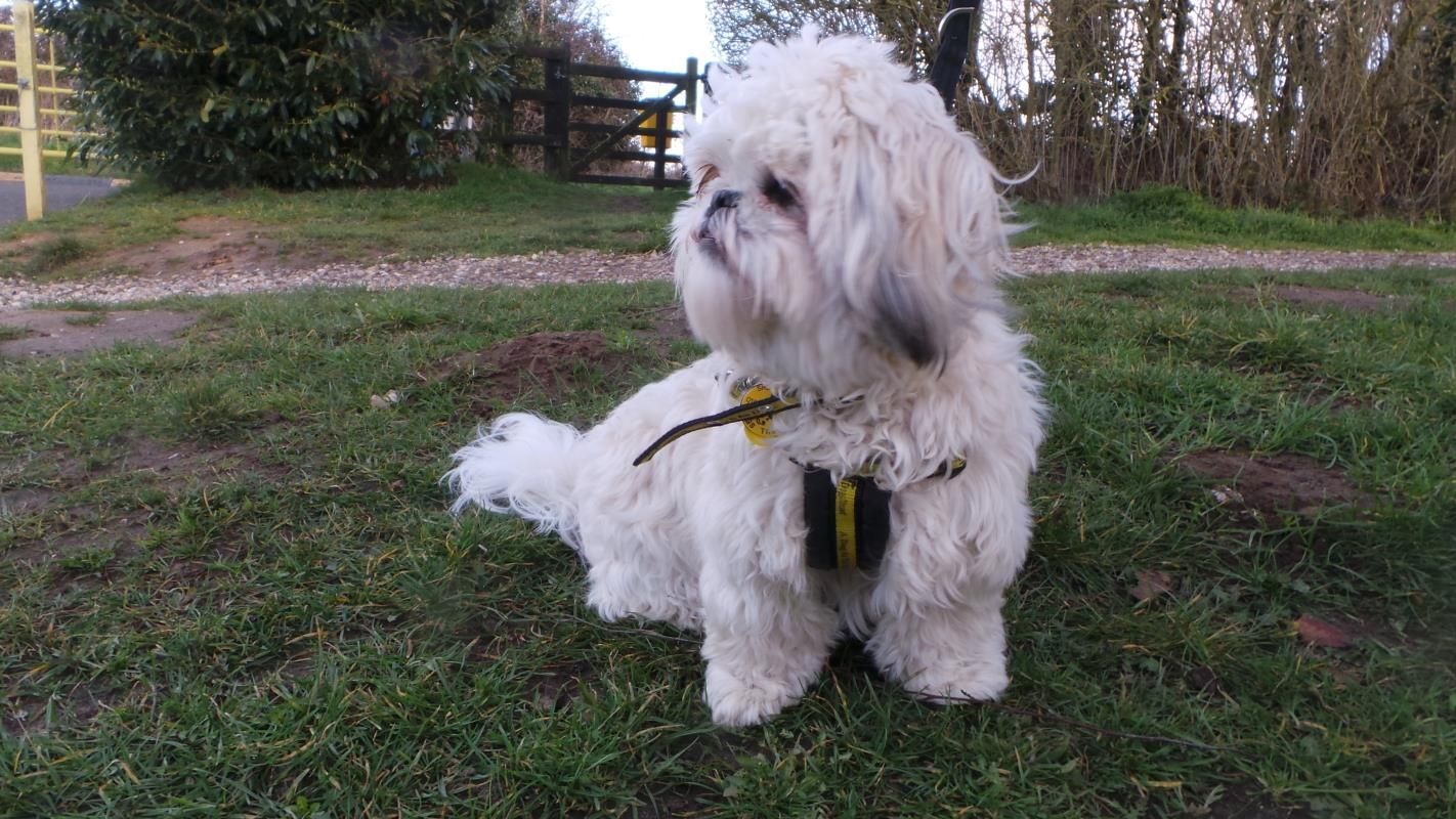 Adopt A Dog Millie Shih Tzu Dogs Trust Dog Adoption Dogs